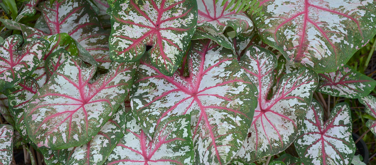 Varagated Caladiums