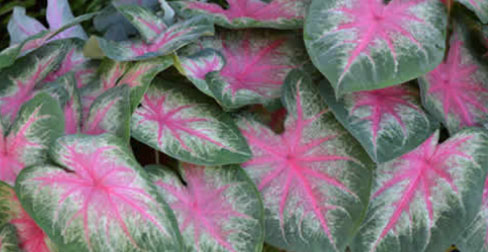 Florida Boys Caladiums Lake Placid Fl
