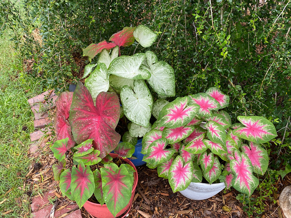Cindy's potted caladiums
