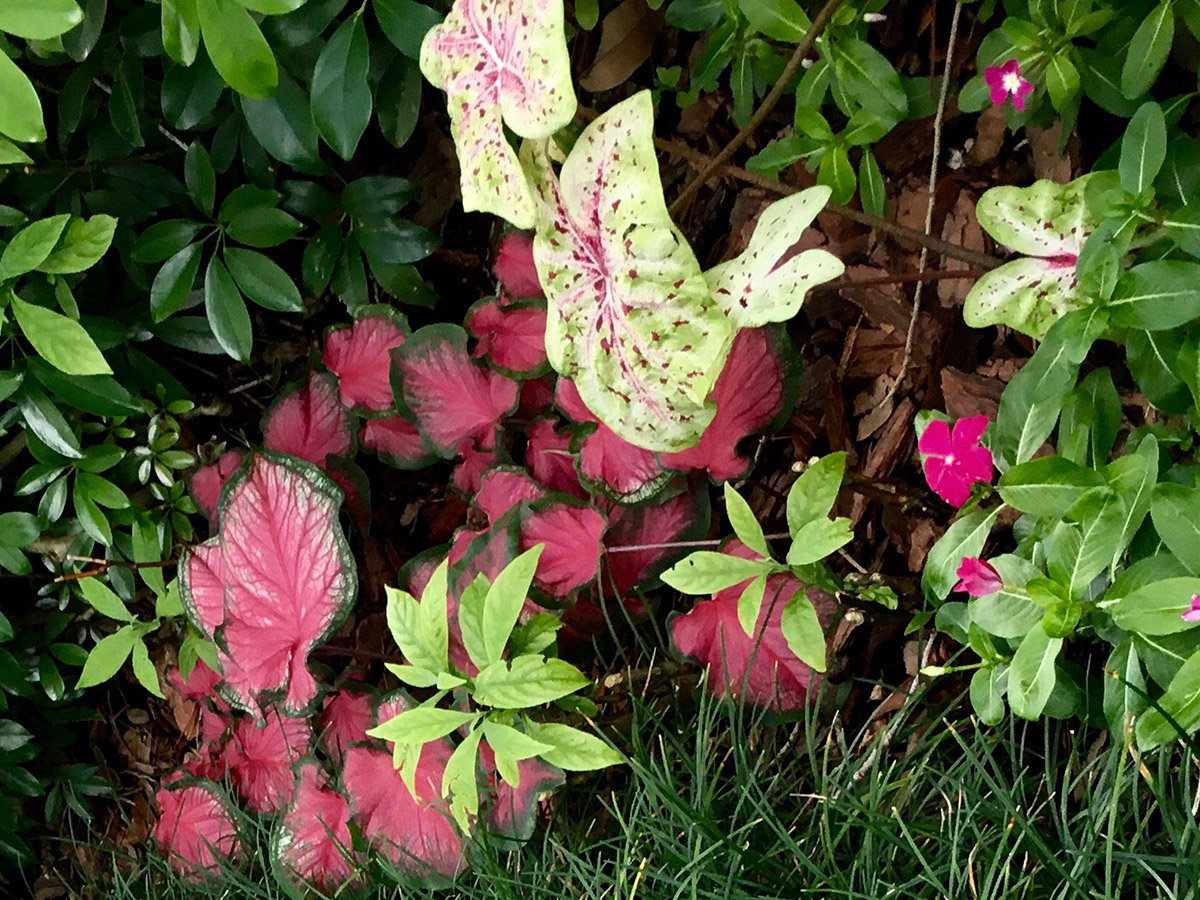 Short caladiums in the grass line.