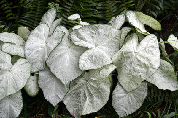Florida Boys Caladiums Florida Moonlight Fancy Leaf Whites