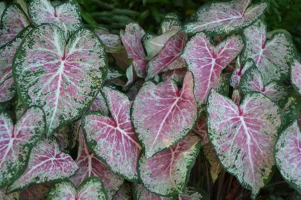 Florida Boys Caladiums Pink Cloud Fancy Leaf Pinks Pinkcloud